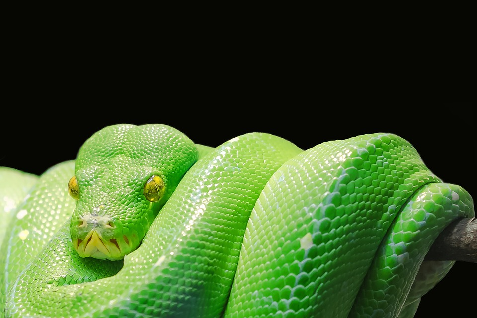 green-tree-python-2-cybrary